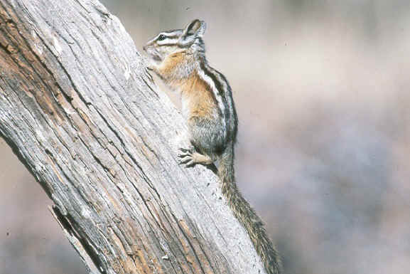 Townsend's chipmunk, from National Wildlife Service