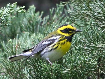 Townsend's Warbler, from National Parks Service