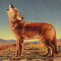 This 1930s-era postcard image shows a coyote howling. Coyotes, rightly or wrongly, were considered the primary disease vector in the rabies outbreak, and great efforts were made to exterminate them.