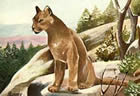 A postcard picture of a cougar. The cat featured in this old Oregon 'tall tale' would have had to be at least as big and mean as this one.